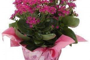 Saksı Çiçekleri Nasıl Sulanır?