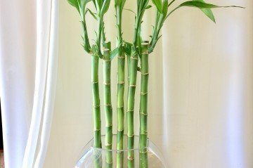 Şans Bambusu Nasıl Seçilir?