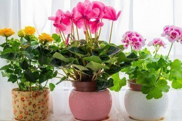 Sıklamen Çiçeği Nasıl Yetiştirilir?