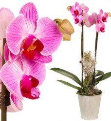 Saksıda Orkide Çift Dal