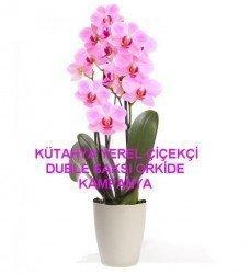 XXL Boy Saksıda Orkide