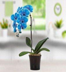 Saksıda Mavi Orkide